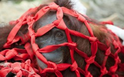 Starving orangutans are being rescued from a forest after bulldozers destroyed their home. Among those saved from the brink of death were a pregnant female and a mother and baby who refused to let go of each other during the horrific ordeal. The orangutans were found clinging to the last few remaining trees when the Indonesian forest they were living in was bulldozed to make way for an palm oil plantation. Picture: Caters News Agency