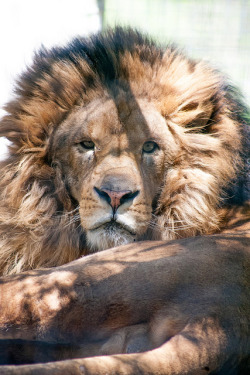 obeyality:  African Lion (Lex Luther) by HollyBerry255 on Flickr.
