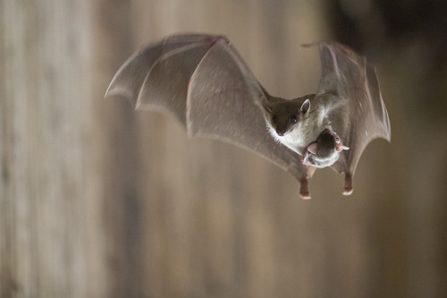 magicalnaturetour:  A young bat and his mother in flight in Pardes Hanna-Karkur, Israel. (© Gilad Guy/National Geographic Traveler Photo Contest)