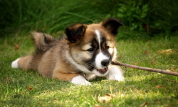 I met an Icelandic sheepdog yesterday and it was as cute as this one! ^^ Photo by Henning Horn