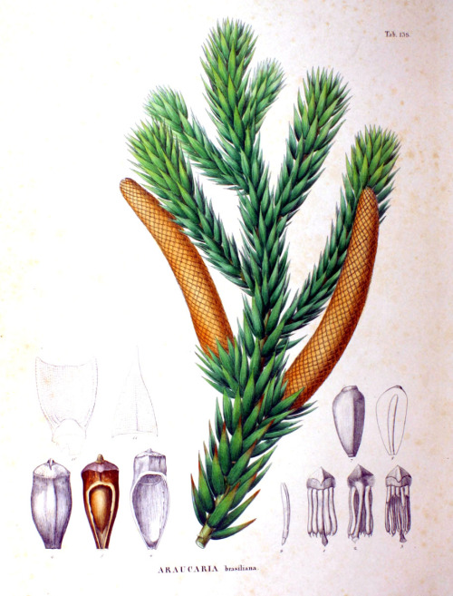wapiti3:    Araucaria    Araucaria is a genus of evergreen coniferous trees in the family Araucariaceae. There are 19 extant species in the genus, with a highly disjunct distribution in New Caledonia, Norfolk Island, eastern … Wikipedia     Scientific name: Araucaria Rank: Genus Higher classification: Araucariaceae Lower classifications: Araucaria araucana, Araucaria bidwillii, More