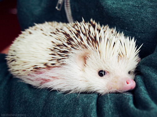 lokithehedgehog:  Sleepy potato