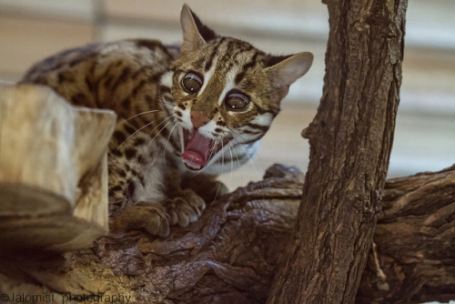 mostlycatsmostly:  Asian Leopard Cat (via Jalomist-1495)