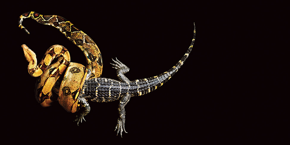 "theantidote:  Snakes in a Frame: Stunning Photographs of Slithering Beasts Mark Laita captured plenty of photographs of snakes striking, their mouths agape, in the making of his new book, Serpentine. But, it wasn't these aggressive, fear-inducing—and in his words, ""sensational""—images that he was interested in. Instead, the Los Angeles-based photographer focused on the graceful contortions of the reptiles. ""It is not a snake book,"" says Laita. As he explained to me in a phone interview, he had no scientific criteria for selecting the species he did, though herpetologists and snake enthusiasts will surely perk up when they see the photographs. ""Really, it is more about color, form and texture,"" he says. ""For me, a snake does that beautifully."" - Continue reading at Smithsonian.com. MORE PHOTOS » By Megan Gambino (via smithsonianmag:) the year of the snake"