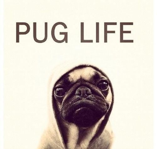 I didn't choose the PUG life, the PUG life chose ME!