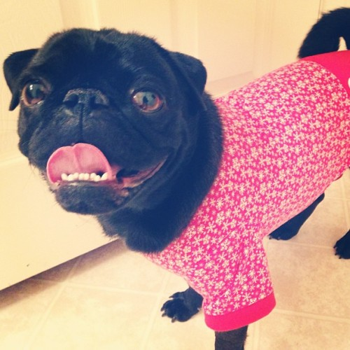 itzsalane:  merry christmas! love, STHWIVEL #christmas #pug #pjs #dog #holidays ☺ 🐶 🎄  this is way too form-fitting.