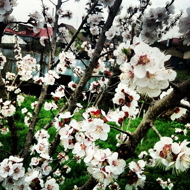 #blossoming #1may #spring  #may #flowers #white