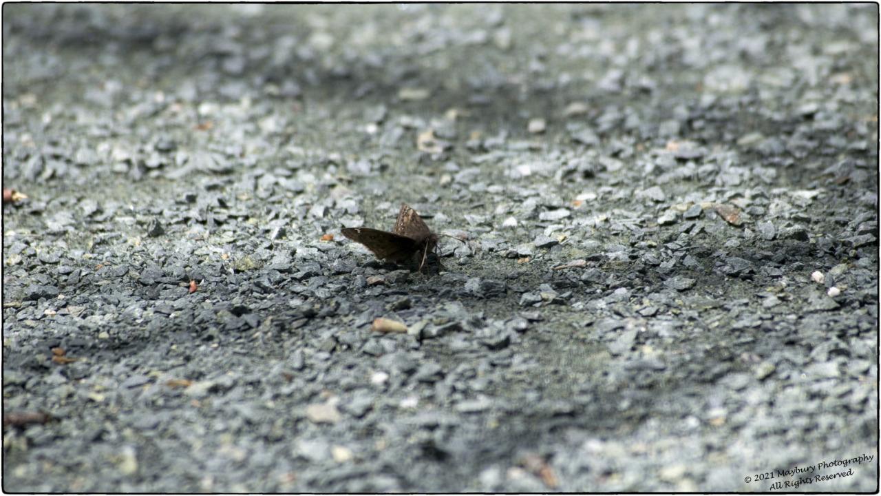 Solitary2021 #moth#animals#wings#trail#path#shenandoah#national park#blue ridge#virginia#stones#gravel#nature#outdoors#hiking#original photographers #photographers on tumblr #bokeh