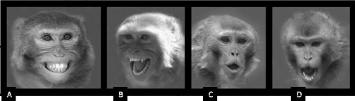 "Primate Vocalizations and Visual Displays  Rhesus macaques Pictures A, B, and C depict agnostic expressions (threat, aggression, submission) while picture D is a play face. Vocalizations typically coincide with visual displays, such as shrill barks, coos, and grunts. A. Bared-teeth display – ""fear grimace""; lips retracted so that teeth are shown; teeth are clenched;  typical display of a subordinate monkey when intimated or attacked by hi­gher ranking monkey- appeasement signal to reduce aggression (Cawthon Lang 2006)  Darla often exhibits this type of display when scared or aggressed by Newton.  B. Scream – mouth open wide  C. Open-mouth threat – lips in an ""O"" shape covering teeth; ears may be flat against head; typical display by a dominant individual towards lower ranking individual. Darla exhibits this expression along with head bob towards anyone if they appear to look at her or in her general direction. D. Relaxed open-mouth face – lips wider apart than threat expression with top lip covering teeth and bottom lip exposing teeth; play face Written by Primate Care specialist Lindsay Towns at Fauna Foundation (Image Parr and heintz 2009)"