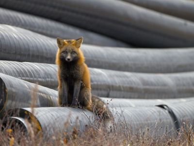 Red Fox (Vulpes vulpes), Canada Photo Credit: Todd Mintz | National Geographic