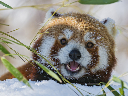 funnywildlife:  Small panda eating in the snow V by Tambako the Jaguar on Flickr.