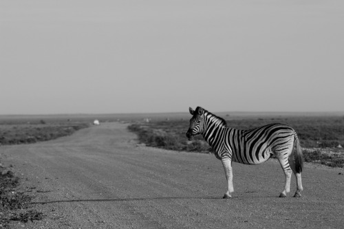A photo I took in Etosha National Park, Namibia. Zebra Crossing?!