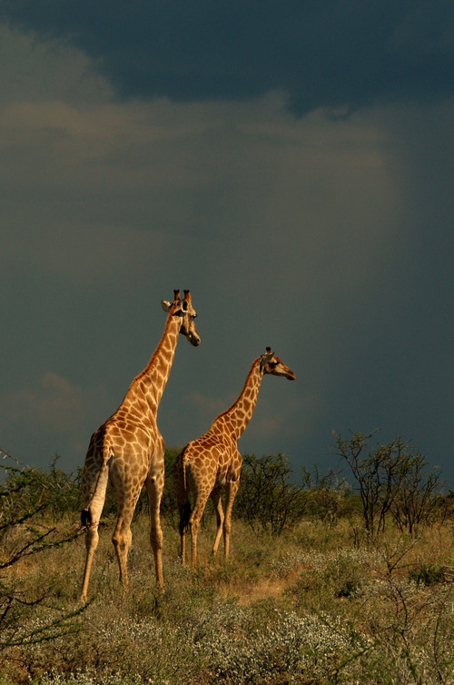 Two giraffes and the storm