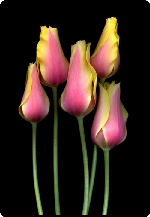mistymorrning:  Tulipa 'Blushing Lady' by horticultural art on Flickr