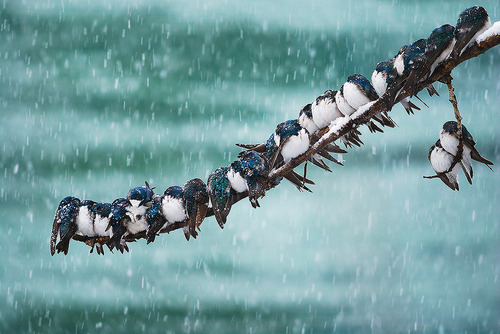 "earth-song:  ""Seemingly Surreal Swallows in a Spring Snowstorm"" by Keith Williams"
