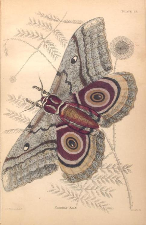 puszcza:  from Exotic Moths by James Duncan, 1868