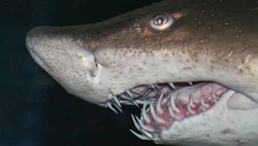 mothernaturenetwork:  Why shark embryos gobble each other up in utero It's part of a struggle for paternity in utero, where babies of different fathers compete to be born.