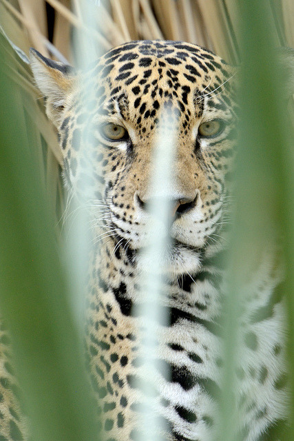 thepredatorblog:  Jaguar (by johnaale)