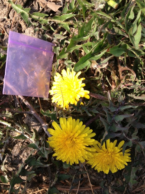 Dime-bag and dandelions.  Happy Spring from 10th and Somerset!