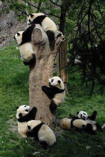eqiunox:  Pandas' favorite activity is climbing trees by rarecollection.ch on Flickr
