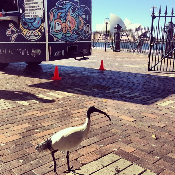 Just hanging by the Quay. #bird #ibis #evil #foodtruck #lunch #sydney #sydneycity #circularquay (at Overseas Passenger Terminal)