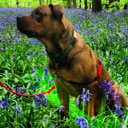 Precious in the blue bells !! #skunx #skunxtattoo #precious #bullweiler  (at Monks Wood )