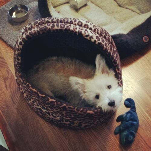 Corgi/Maltese Bill Murray is being sassy in his diva bed, again.