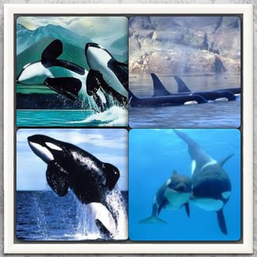 Day 3: animal love #orca #whale #freewilly #love #beautiful #creatures #febphotochallenge