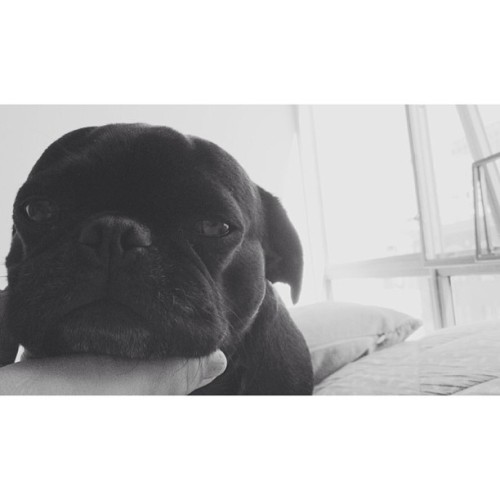 cripsmagee:  Weasel. Just so ashamed of himself #pug #pugly #toomanydogs #whatevs #california #dog #dogsofinstagram #shame (at The Weekend Kennel)