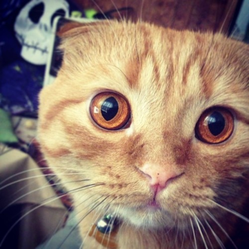 Look into my eyes! #strummerthecat #scottishfold #cat #catlife #catsagram #catsofinstagram #instacat #kitty #orangeeyes #redtabby #orangecat #cute #meow #neko #sweetheart #handsome