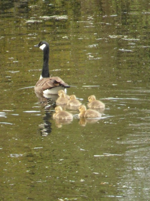 First Goslings of 2013 I've seen, Brewood, Staffordshire, England All Original Photography by http://vwcampervan-aldridge.tumblr.com