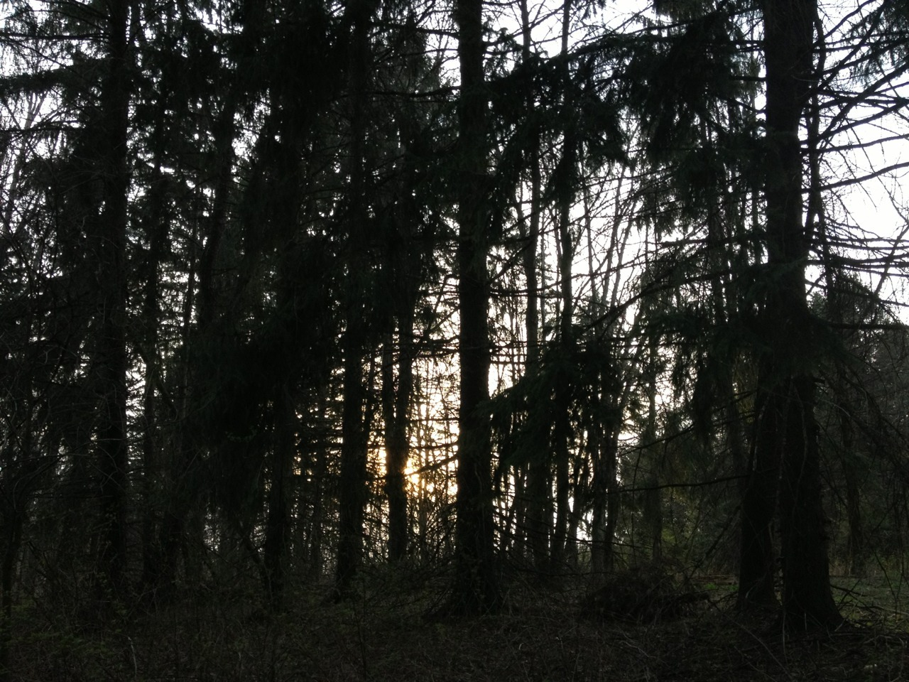 Sunset in the pines.