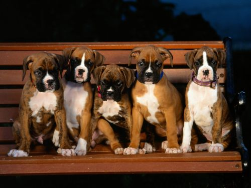 paws-down:  Boxer puppies.