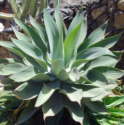 Aloe cactus, Gran Canaria, Canary Islands.