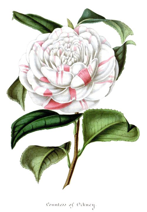 oldbookillustrations:  Countess of Orkney (Camellia japonica). From Flore des Serres et des Jardins de l'Europe (Flowers of the Greenhouses and Gardens of Europe) vol. 4, by Charles Lemaire, Michael Scheidweiler, and Louis van Houtte, Ghent, 1848. (Source: archive.org)