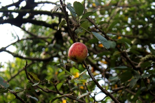 Unripe Apple