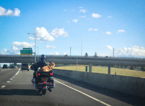 motolady:  I finally witnessed it in real life… a dog on a motorcycle.  One time in Tokyo I witnessed a small, scrappy dog wearing aviation goggles while straddling the gas tank of an old harley. It was the most bizarre thing. I might have a picture of it somewhere…