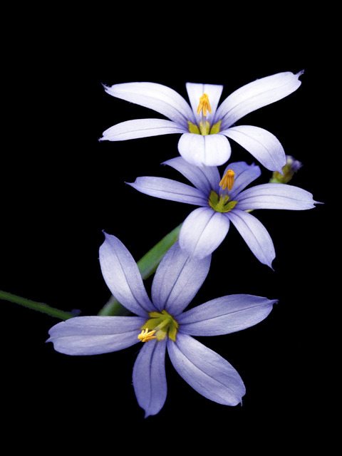 flowerfood:  wild-flowers:  Blue-eyed Grass  Sisyrinchium species