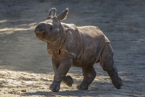 Rhino Calf by Official San Diego Zoo on Flickr.