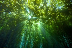 nature ocean sea kelp kelp forest