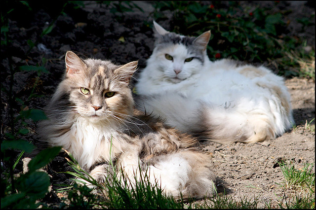 Maine Coons on strike by Emil de Jong on Flickr.