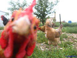 photo chicken rose derp Photobomb the blonds hen she's a derp pleasantfowl