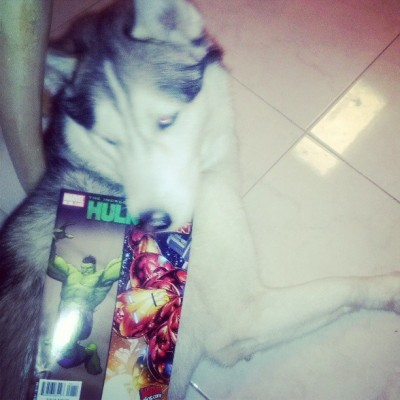 #Kiba likes to read comics also. #hulk #ironman #husky #siberianhusky