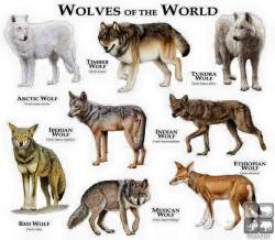 animals wolf world wildlife wolves update updates information info gray wolf arctic wolf canis lupus iberian wolf red wolf tundra wolf timber wolf ethiopian wolf Mexican wolf indian wolf