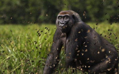 Giant western lowland gorilla Malui roams through Central African Republic's dense Dzanga-Sangha forest. Malui, who is estimated to be around 25 years old, sniffs at a swarm of butterflies.Picture: BARCROFT MEDIA