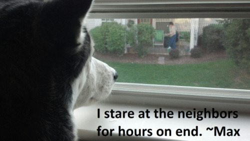 Creepy Husky I stare at the neighbors for hours. ~Max What a creep.View Post