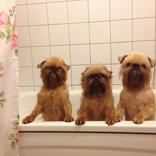 thefluffingtonpost:  PHOTO OP: At the Ewok Day Spa Fact: If you want a dog that looks like an Ewok, the Brussels Griffon is the breed for you. Via sunita_b.