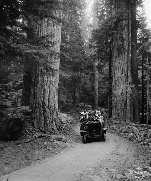 A Tourist Truck Drives Through a Forest of Towering Fir Trees, 1910s photo by Asahel Curtis