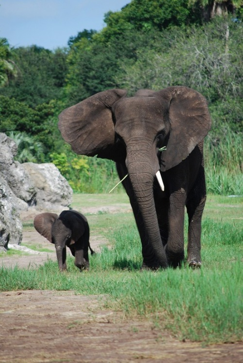 eqiunox:  New baby elephant at Disney's Animal Kingdom