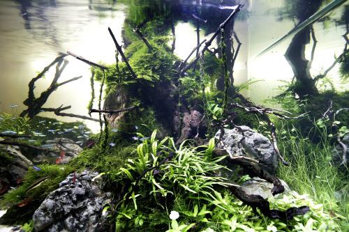 """nature-is-bleeding:""""Yakusugi's king and his throne of rock""""Story of this tank in a short time.""""Le roi des Yakusugi et son trône de pierre""""L'histoire de cet aquarium dans peu de temps."""